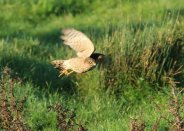 Sparrowhawk in pursuit. 30th October