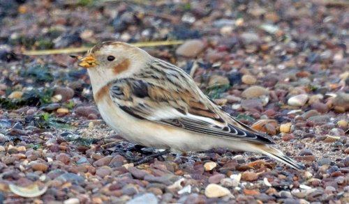Snow Bunting (c) Peter Woods