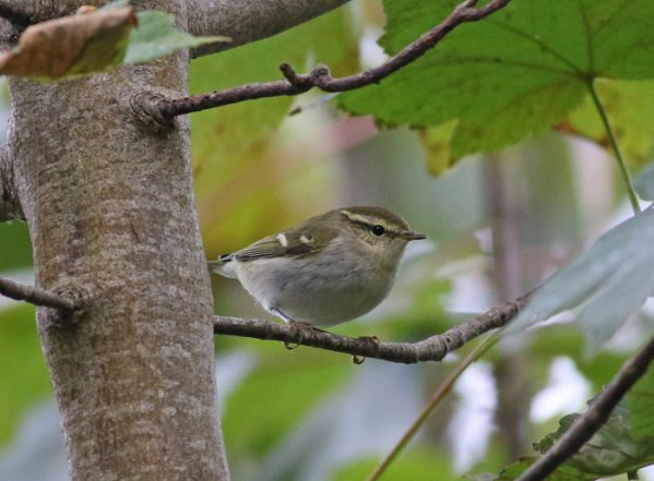 Yellow-browed Warbler by Chris Townend