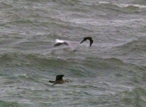Pom Skua Hope's Nose 19 Dec 12 ML2