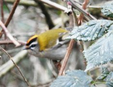 Profile record shot of firecrest in Braunton