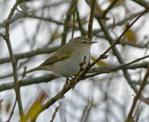 tristis Chiffchaff Broadsands 11 Dec 2013 ML