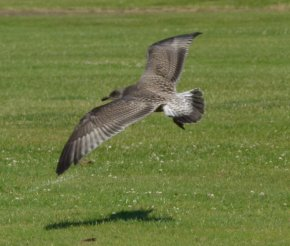 Herring Gull Juv Clennon Vly 110714 ML