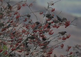 Starlings and Redwing