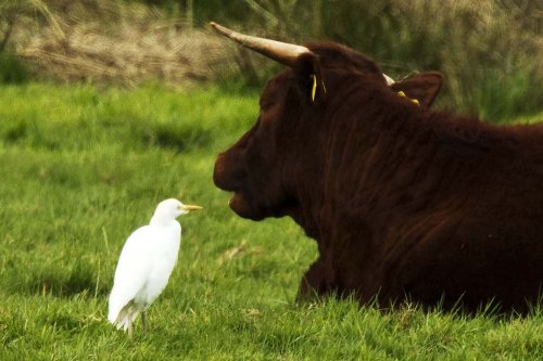 Cattle Egret on Colyford Common