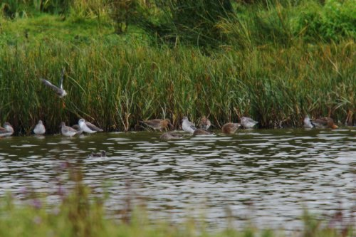 Spotted Redshank  (centre)