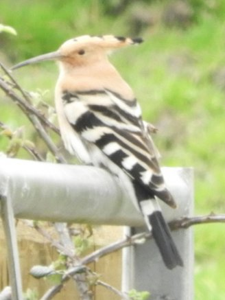 Hoopoe Velator today.