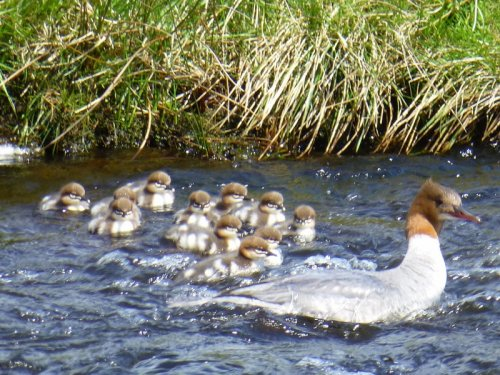 Goosander with ducklings