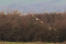 Short-eared Owl in flight (very distant)