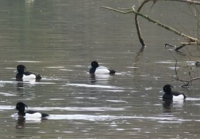 Drake Scaup Clennon Lakes 20 March 2015 ML