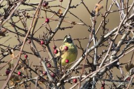 Singing male Cirl Bunting at Prawle