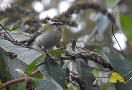 Firecrest Berry Head 09 Oct 2020 ML