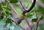 One of two Firecrests.