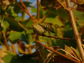 Yellow-browed Warbler Berry Head 10 Oct 2018ML