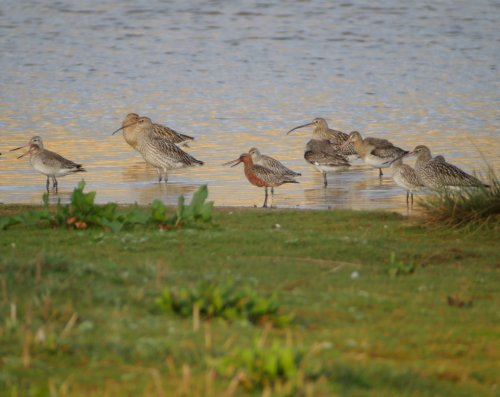 Bar-tailed Godwit (middle in breeding plumage)