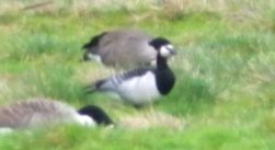 Barnacle Goose (distant)