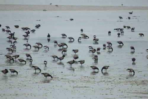 Brent Geese at Duck Ponds Exmouth