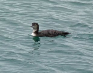 Great Northern Diver Broadsands 18 Nov 13 ML