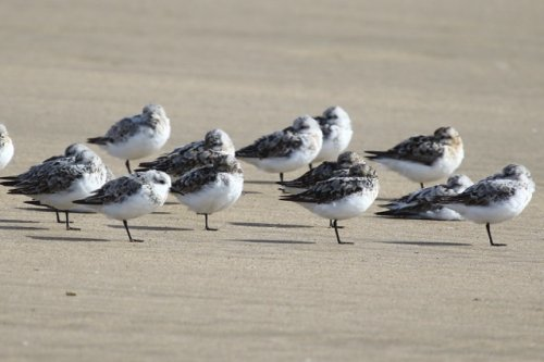 Sanderling at Saunton Sands