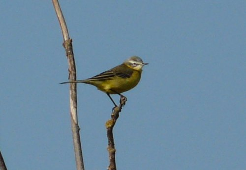presumed blue-headed wag or possibly channel wag - 16/9
