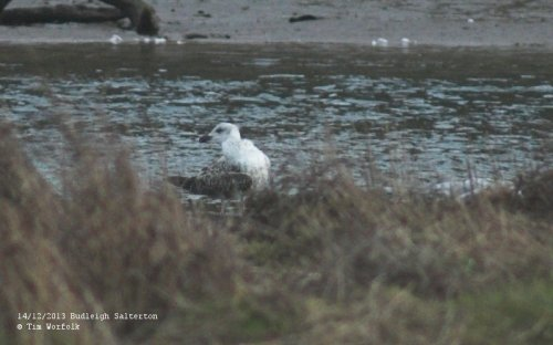 Yellow-legged Gull 1W - Otter Estuary 14/12/2013