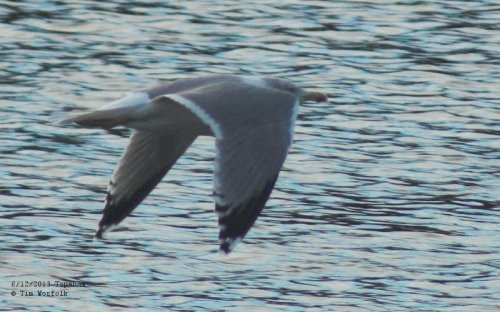 Yellow-legged Gull - or is it? - Topsham 6/12/2013
