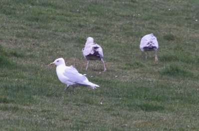 Kumlien's Gull South Milton Ley 28.3.15