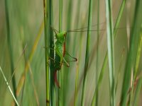 Short-winged Conehead female