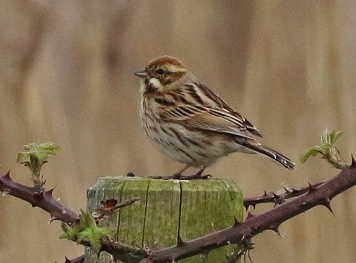 Female Reed Bunting at Powderham