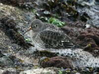 Purple Sandpiper, Brixham Breakwater