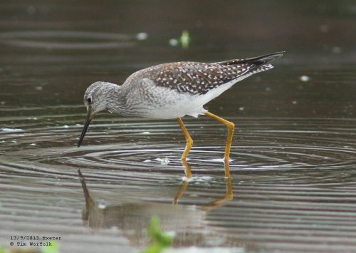 Lesser Yellowlegs - Trews Weir Exeter