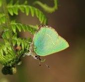 Beautiful Green Hairstreak