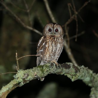 Tawny Owl © Steve Hopper, 21/1/2015, South Brent