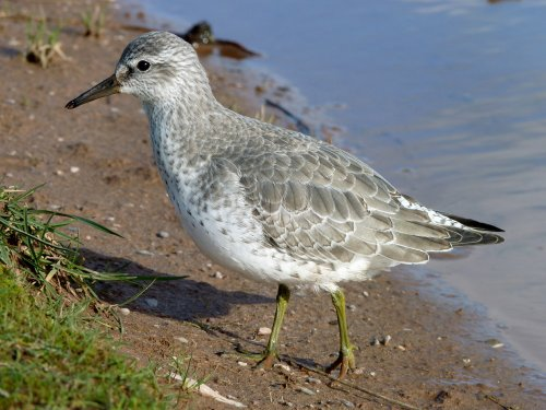 First winter Knot at Dawlish Warren
