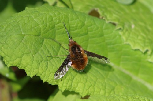 Dark bordered Bee fly Bombylius major