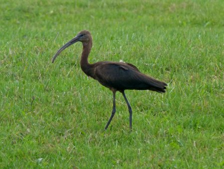 Glossy Ibis Galmpton 27 Sept 2013 ML