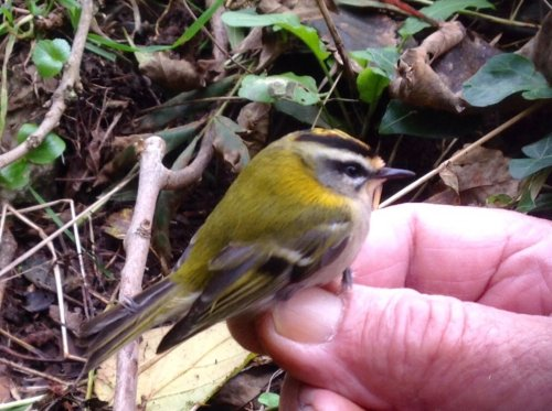 Another Firecrest photo 1st.Yr. F. They are such delightful birds.