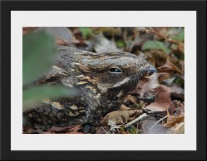 Photo 58 - Nightjar by John Deakins