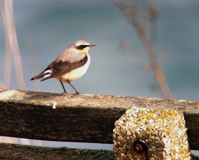 Wheatear Male Broadsands 20 Mar 13 ML - Kowa iphone