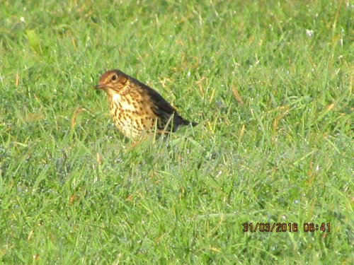 Song thrush at Broadsands but poisted in error, oops