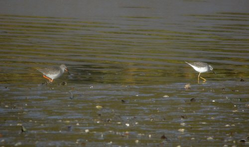 Redhank and Lesser Yellowlegs