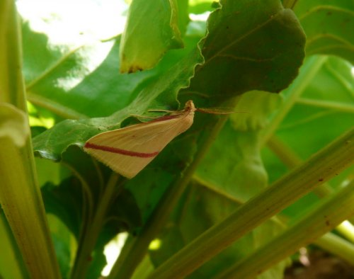 vestal  - an immigrant moth species