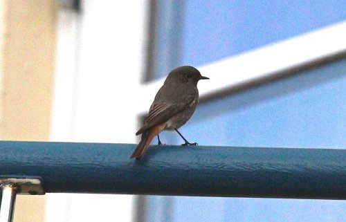 Female Black Redstart at the Sailing Club Exmouth