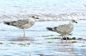 juv Yellow-legged Gull Broadsands 3rd Aug 2015 ML2