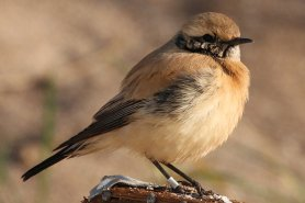 The famous Desert Wheatear
