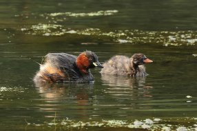 Dabchick, adult and chick