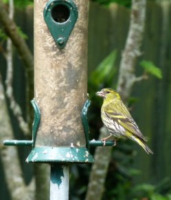 siskin Clennon Valley 08 Jun 14 ML