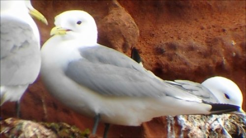 Kittiwake Sandy Bay