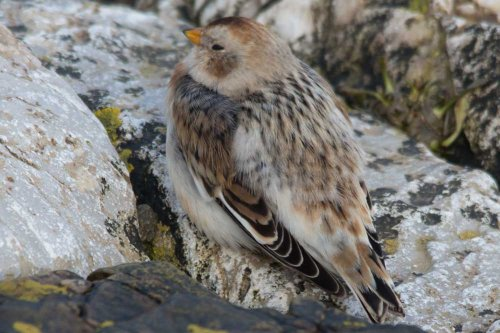 Snow Bunting - Powderham - 4.2.15