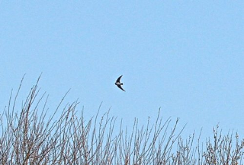 Sand Martin over Wrafton pond